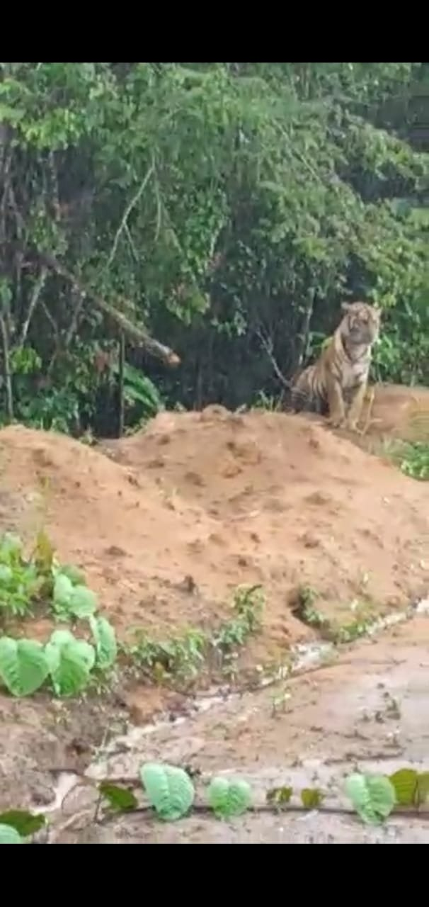 Geger, Dua Ekor Harimau Muncul di Airmumu Kerinci