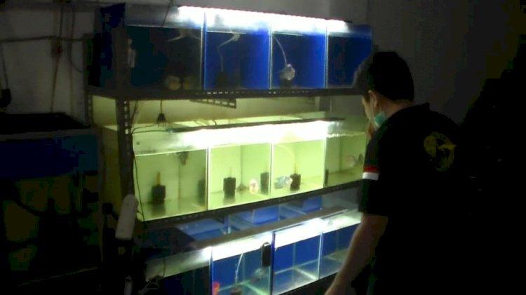 Bermula dari Hobi, Pria di Jambi Ini Mampu Hasilkan Jutaan Rupiah dari Ikan Louhan