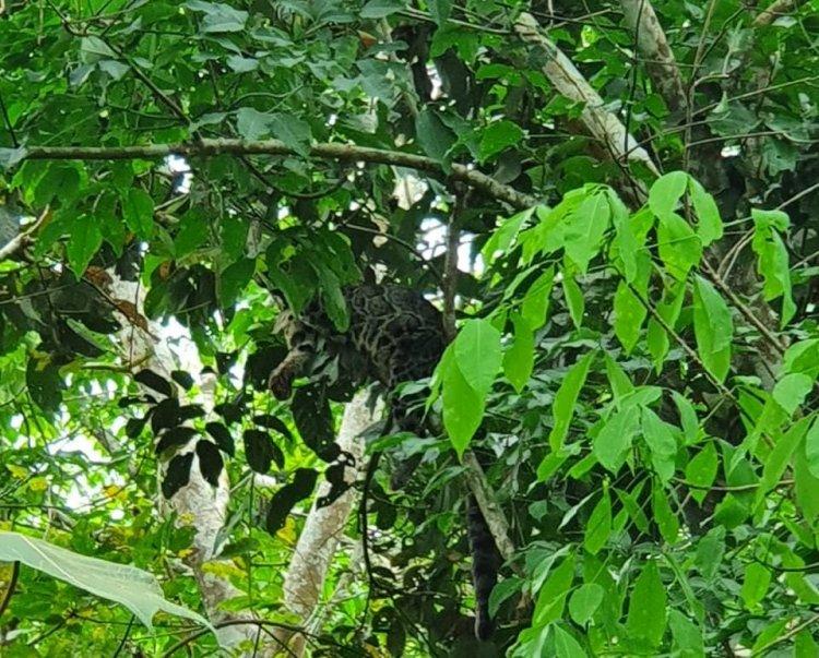Ngeri!! 4 Ekor Macan Tutul Berkeliaran di Dekat Rumah Warga Teluknilau Tanjab Barat