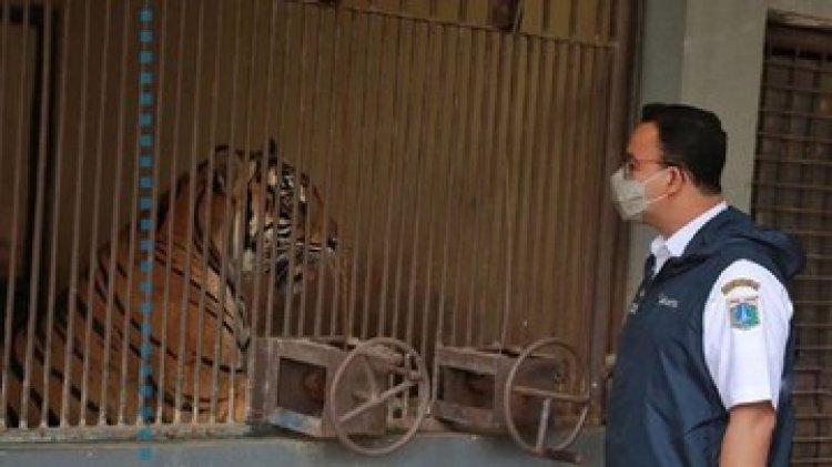 Gubernur Anies Sebut Dua Harimau Sumatra di Ragunan Positif Covid-19