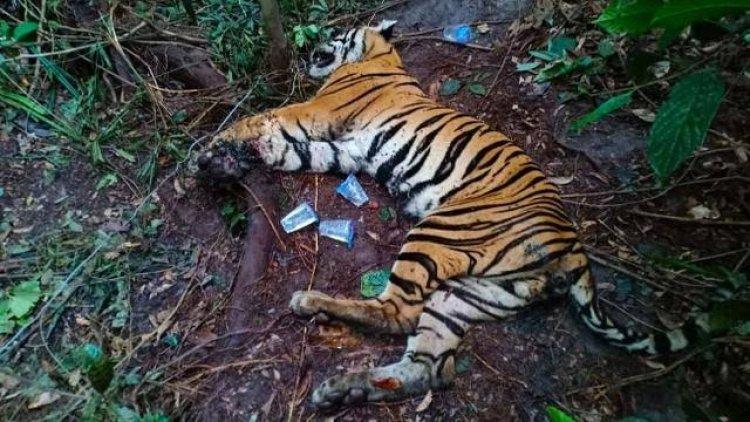 Warga Merangin Tewas Diterkam Harimau, BKSDA Turunkan Tim