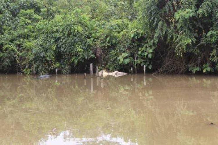 Tidak Terurus, Seekor Buaya Besar di Penangkaran Sungai Gelam Muarojambi Mati Akibat Dimangsa Kawanannya
