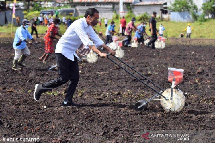 Jokowi Minta Sorong jadi Daerah Produsen Utama pertanian: Ada 11 Ribu Hektar Tanaman Jagung