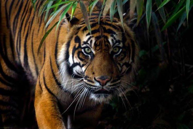 Lagi, Warga Merangin Diterkam Harimau, Korbannya Petani Karet