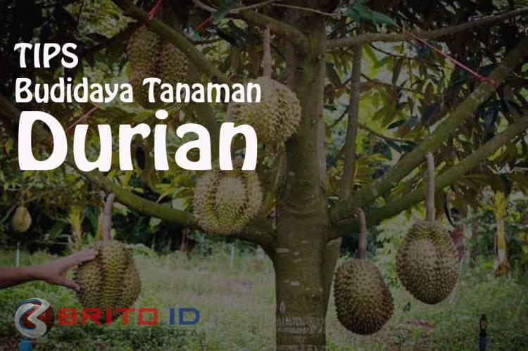 Cara Budidaya Tanaman Durian Agar Cepat Berbuah