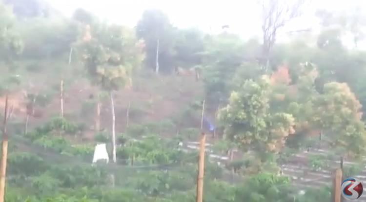 VIDEO: Seramnya Harimau Berkeliaran di Ladang Warga Kerinci