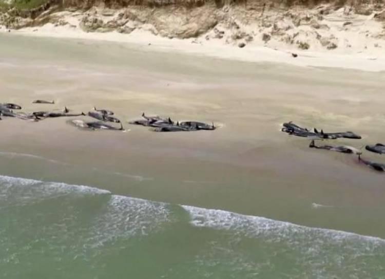 Fenomena Aneh! 145 Ikan Paus Mati Setelah Terdampar di Selandia Baru