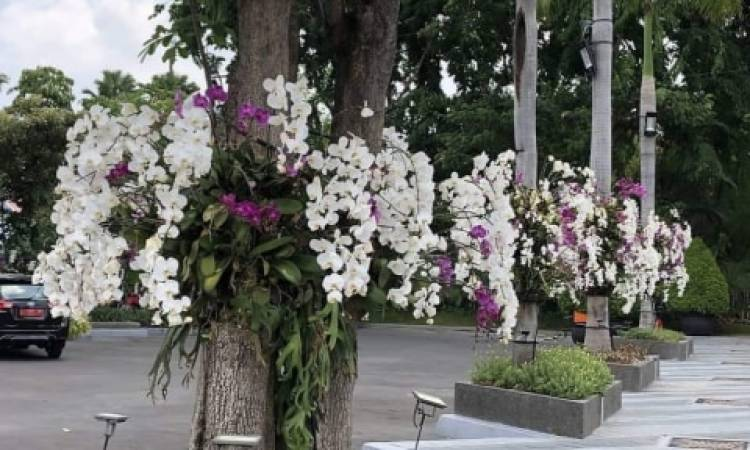 Serasa di Jepang, Ketika Surabaya Bertabur Bunga Tabebuya