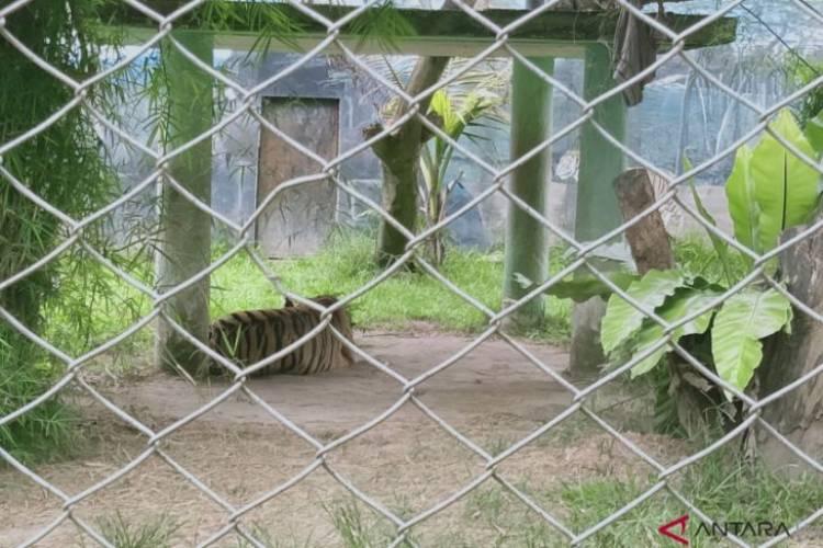 Harimau Ayu dan Singa Shiro di Jambi Mati