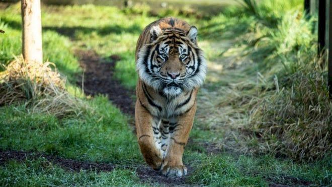Harimau Teror Warga Muara Siau Merangin