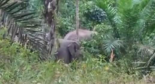 BKSDA Kembalikan Tiga Ekor Gajah Resahkan Warga ke Habitat
