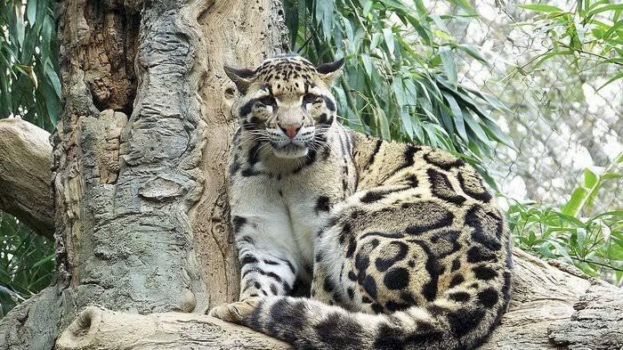 BKSDA Selidiki Insiden Serangan Macan yang Tewaskan Petani Lahat