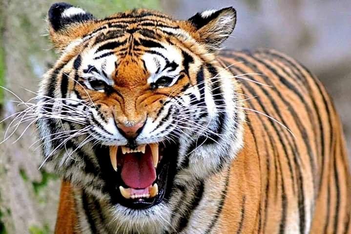 Harimau Masuk ke Perkebunan Warga Air Hangat Kerinci, Begini Kondisinya